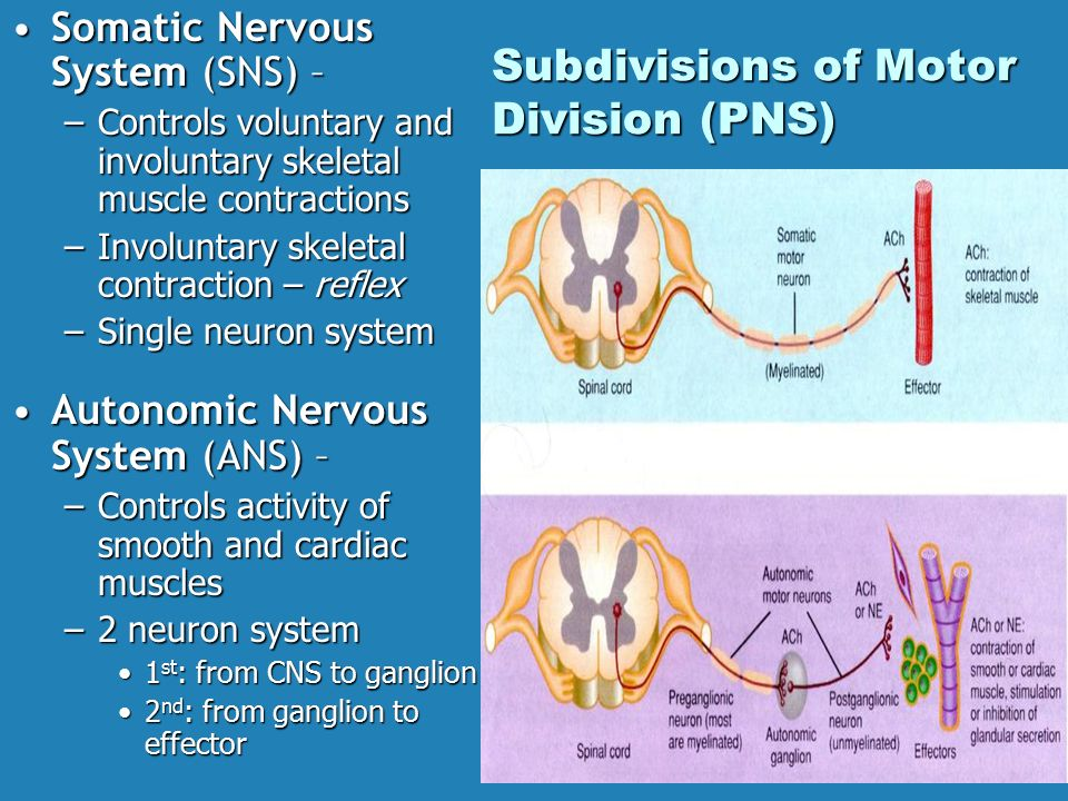 Nervous and Endocrine Systems - ppt download | 960 x 720 jpeg 127kB