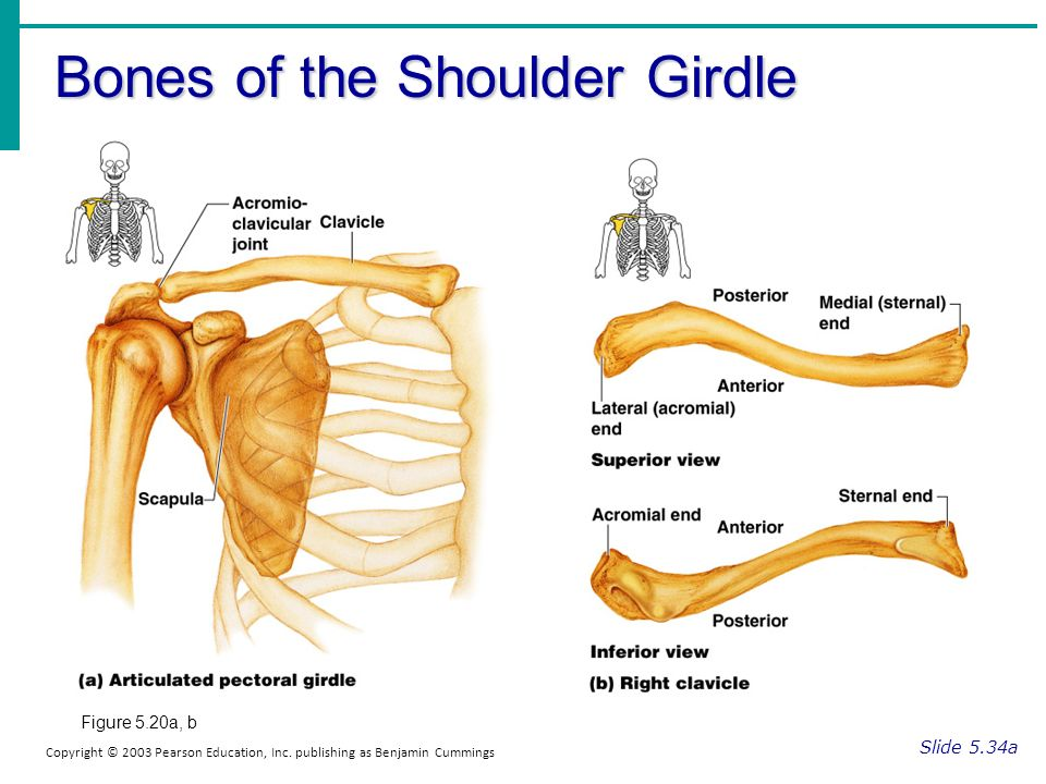The Pectoral (shoulder) Girdle The Pelvic Girdle - ppt video online ...