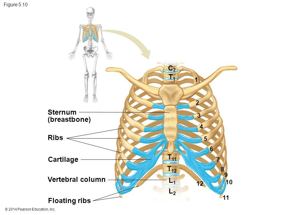 5 The Skeletal System Ppt Video Online Download