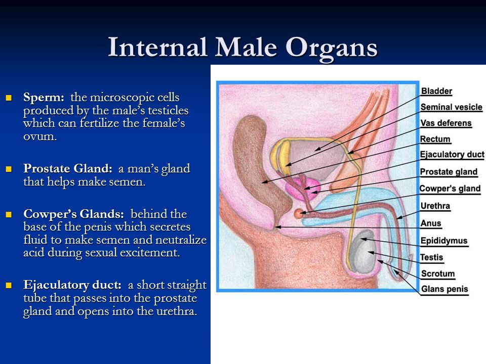 Internal Side View Of The Male Sex Organs
