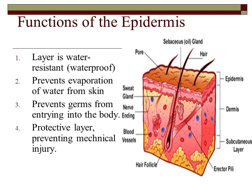 Functions of the Epidermis