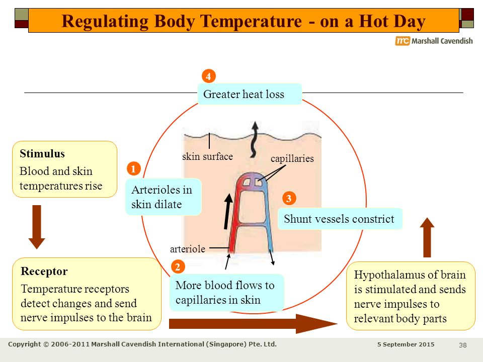 Regulating Body Temperature - on a Hot Day