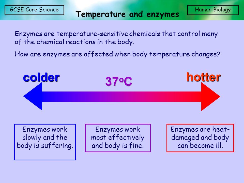 Temperature and enzymes