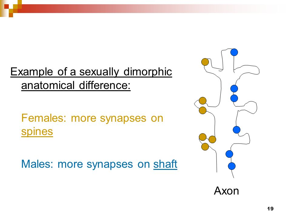 An example of a sexually dimorphic behavior noted in humans would be