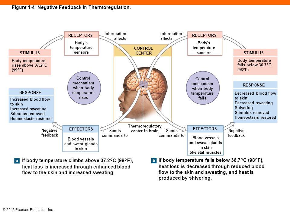 Positive Feedback Temperature Body Organs Diagram - Easy-to-read ...