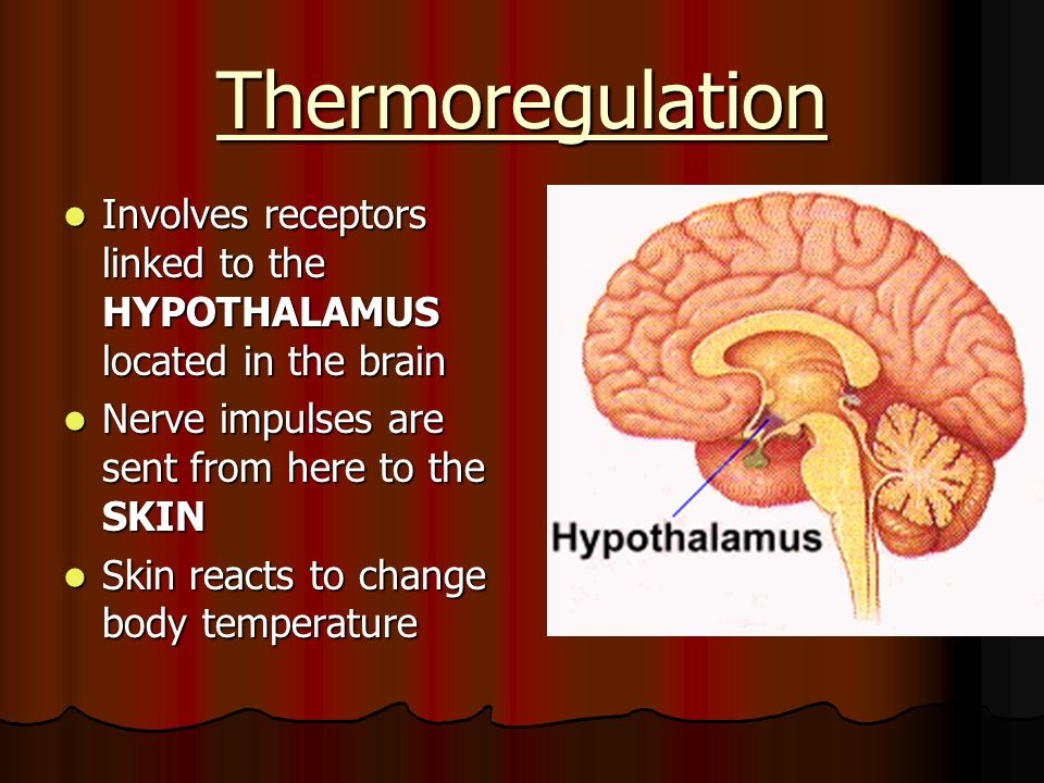 Thermoregulation Involves receptors linked to the HYPOTHALAMUS located in the brain. Nerve impulses are sent from here to the SKIN.