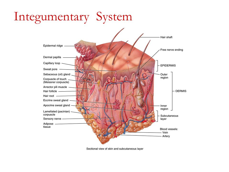 Chapter 2 The Integumentary System Ppt Video Online Download