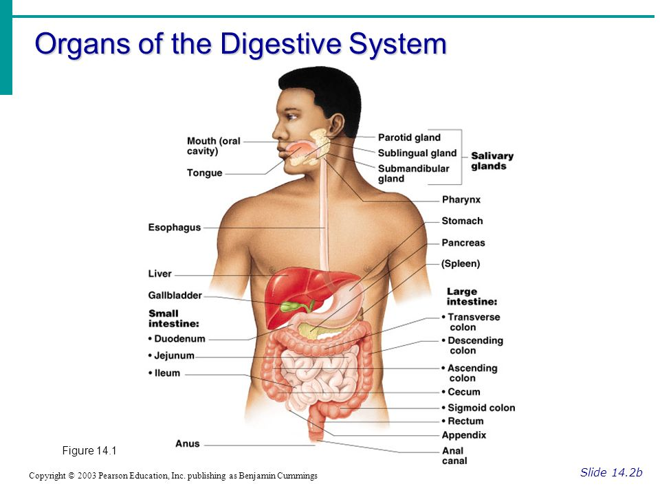 Chapter 14 The Digestive System And Body Metabolism Ppt