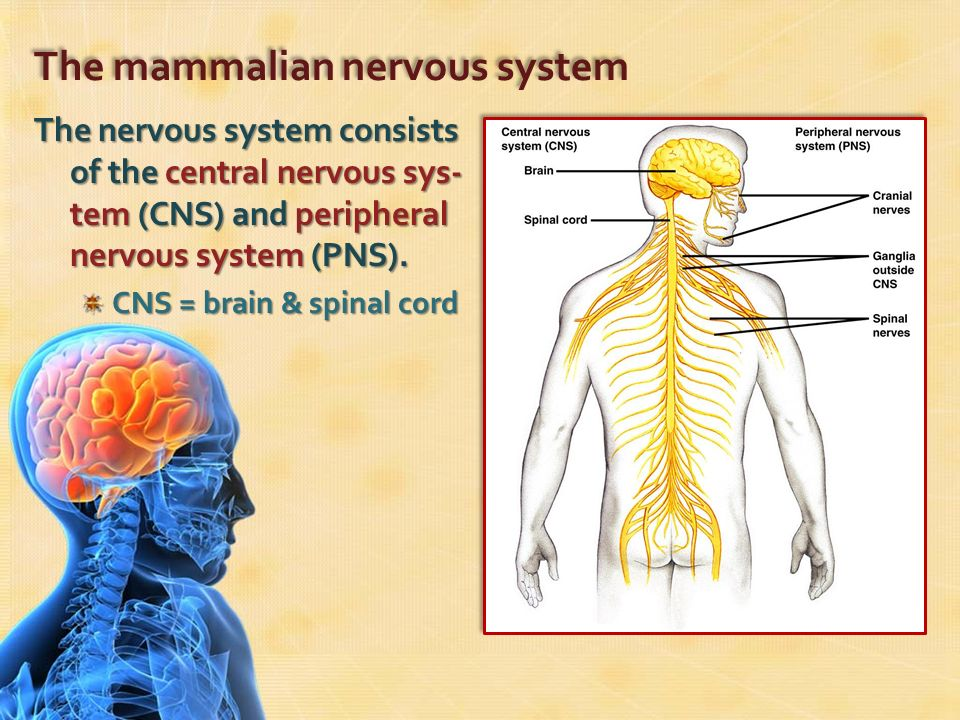 The nervous system ppt download the mammalian nervous system ccuart Gallery