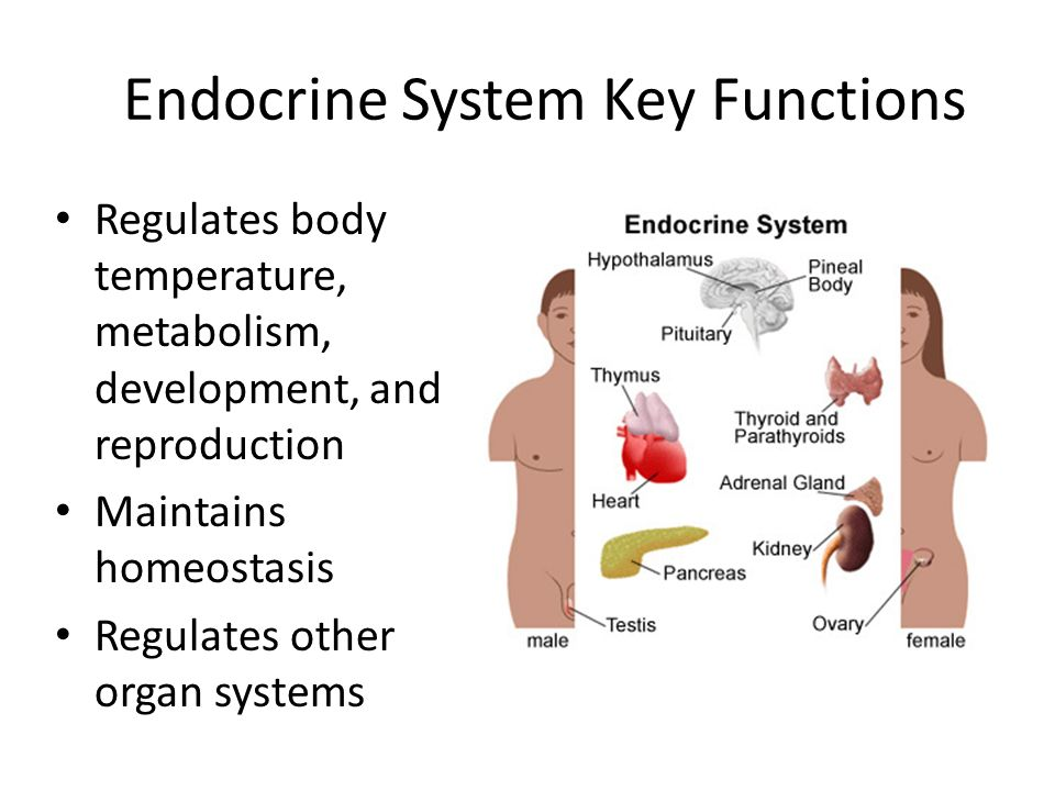 Endocrine System Pre-Movie: Major structures: Hypothalamus Pituitary ...