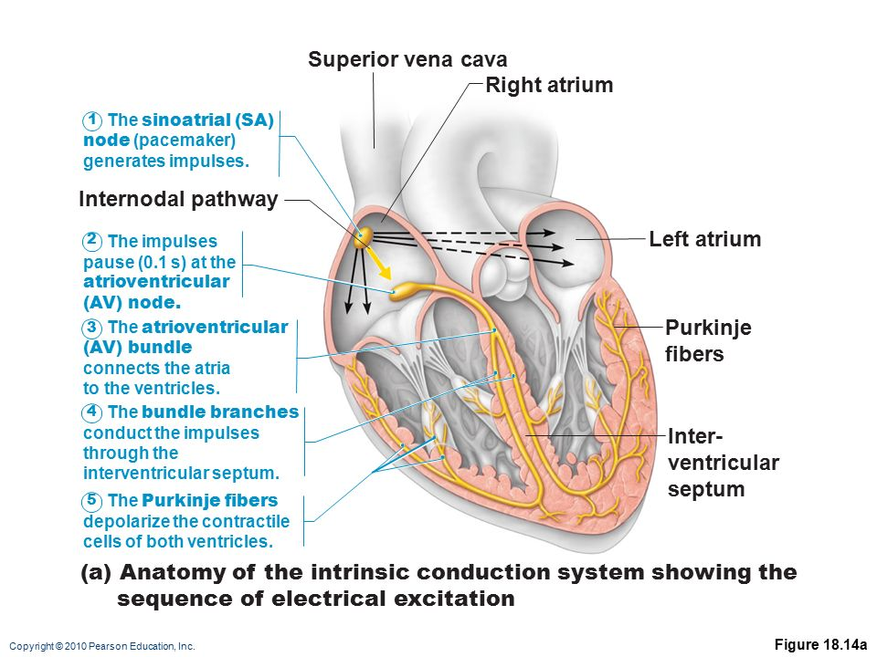 Heart physiology electrical events ppt video online download a anatomy of the intrinsic conduction system showing the ccuart Choice Image