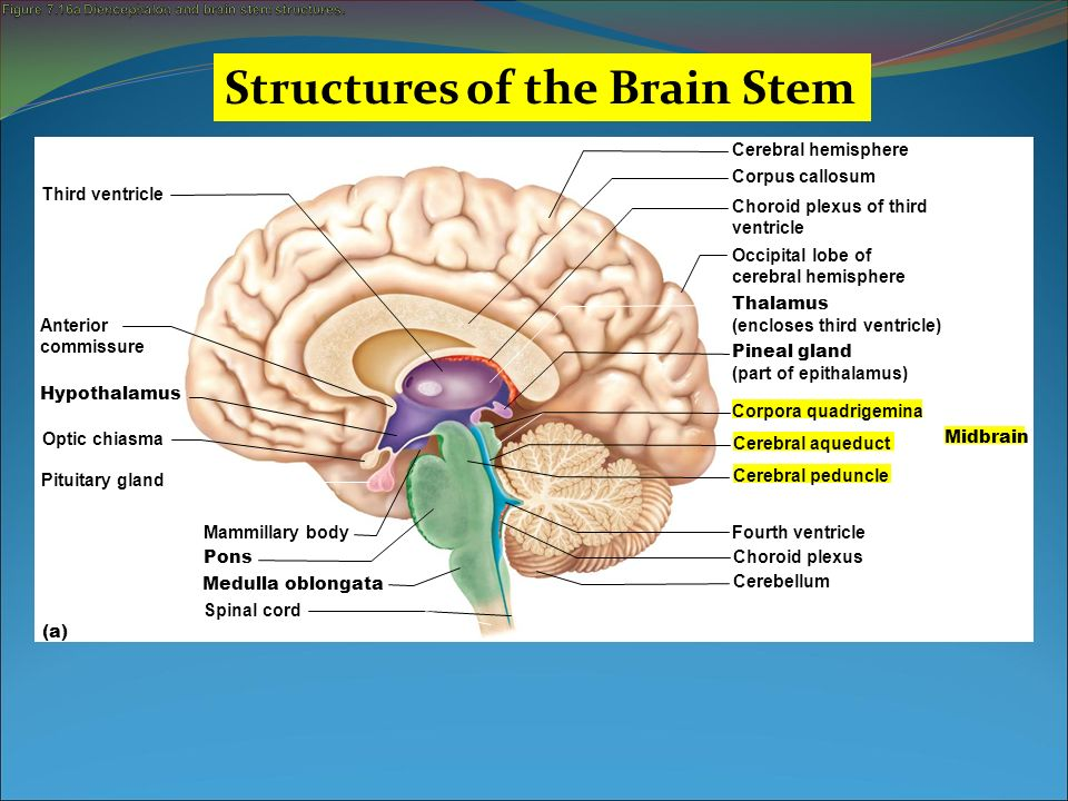 Figure 7.16a Diencephalon and brain stem structures.
