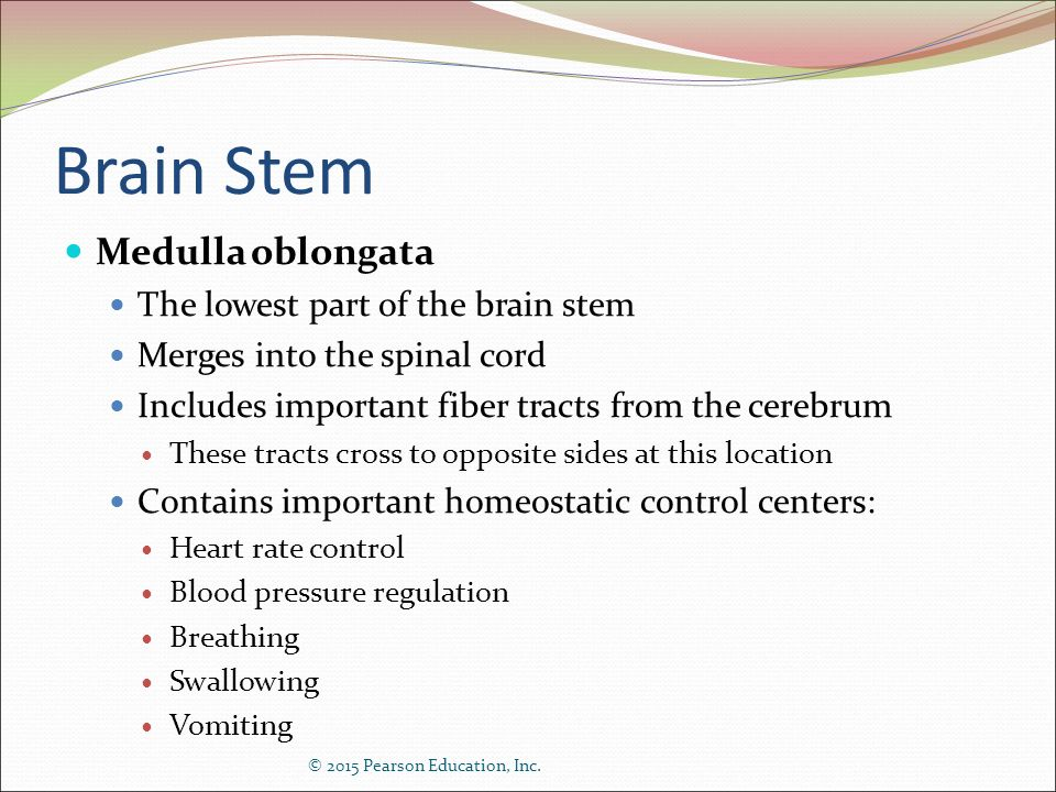 Brain Stem Medulla oblongata The lowest part of the brain stem