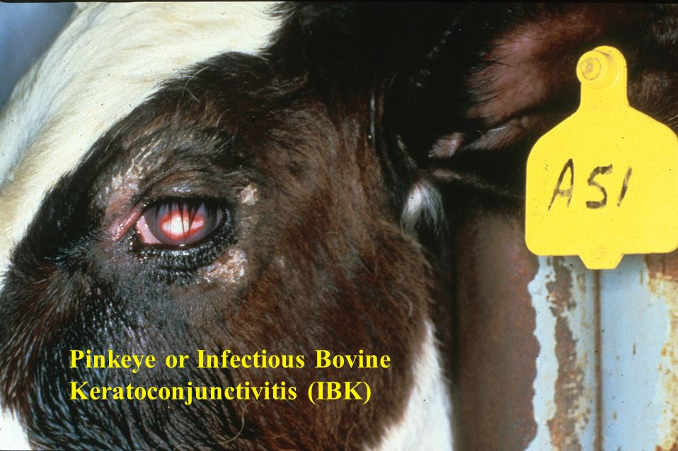 Pinkeye Or Infectious Bovine Ppt Video Online Download