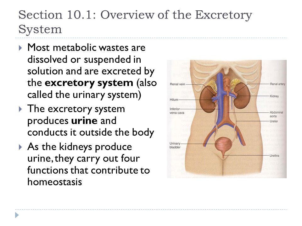 Chapter 10 Excretion And The Interaction Of Systems Ppt Download