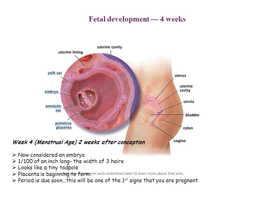 fetal development — 4 weeks
