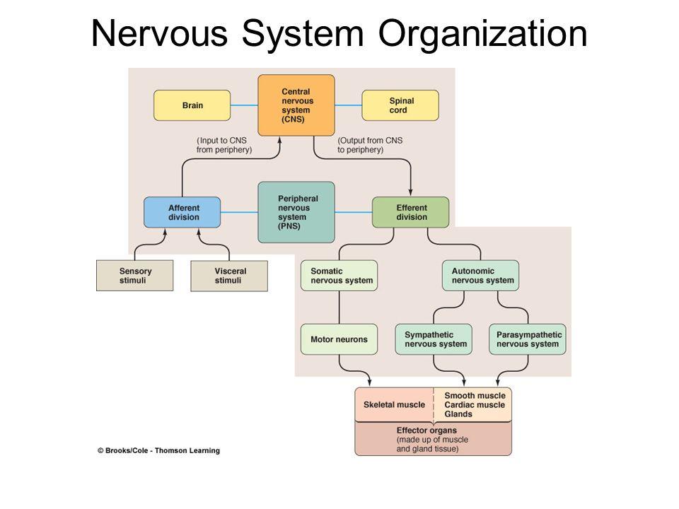 The central nervous system ppt download 4 nervous system organization ccuart Gallery