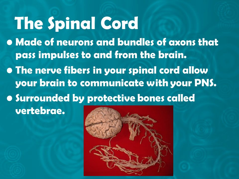 The Spinal Cord Made of neurons and bundles of axons that pass impulses to and from the brain.