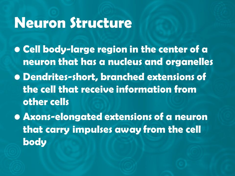 Neuron Structure Cell body-large region in the center of a neuron that has a nucleus and organelles.