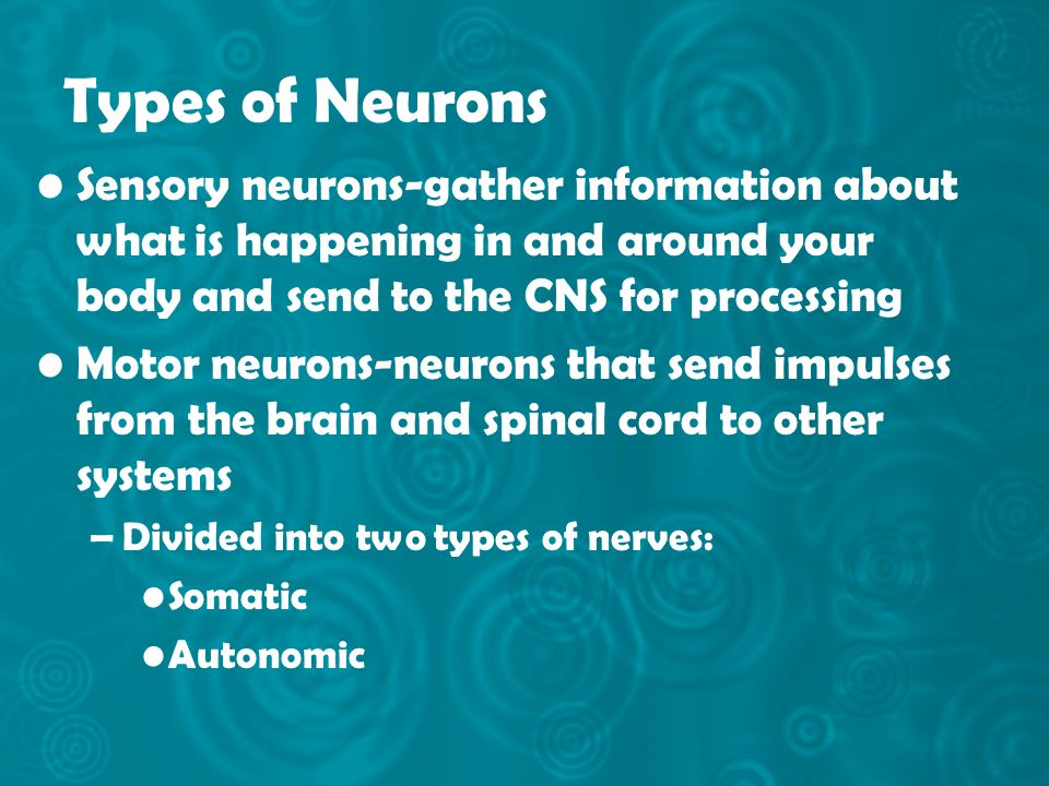 Types of Neurons Sensory neurons-gather information about what is happening in and around your body and send to the CNS for processing.