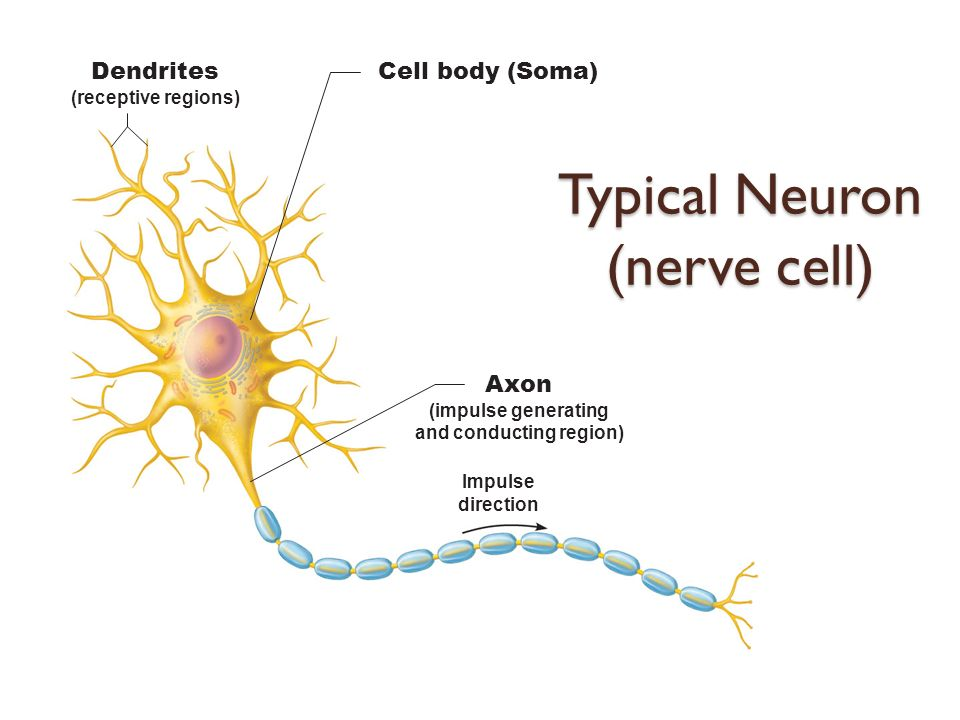 The nervous system i the spinal cord and spinal nerves ppt video 7 typical ccuart Choice Image