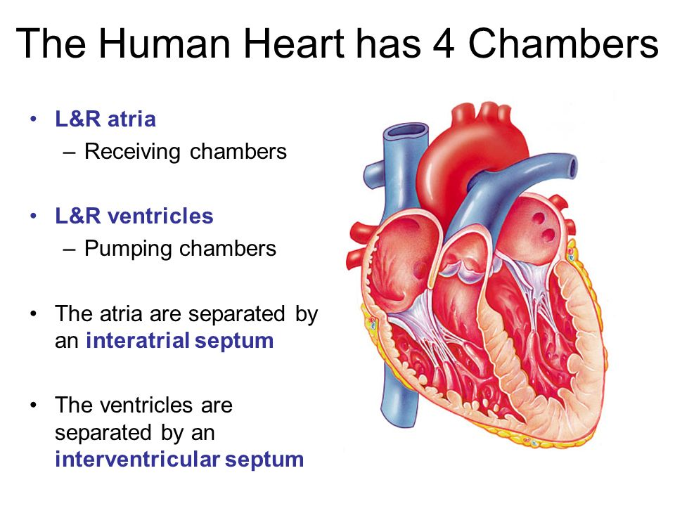 Lab 5 The Heart And Blood Histology Ppt Video Online Download
