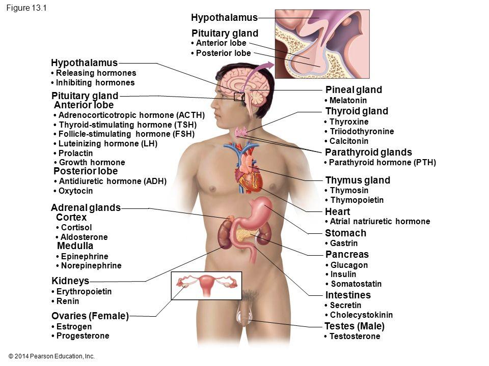13 The Endocrine System Ppt Video Online Download