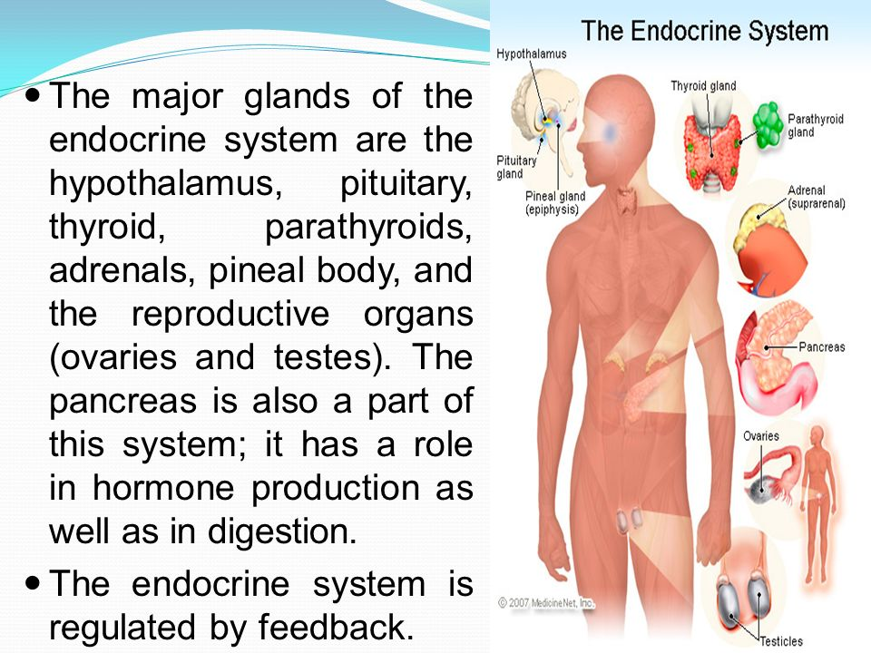 The major glands of the endocrine system are the hypothalamus, pituitary, thyroid, parathyroids, adrenals, pineal body, and the reproductive organs (ovaries and testes). The pancreas is also a part of this system; it has a role in hormone production as well as in digestion.