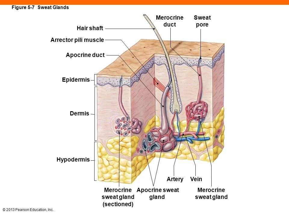 Apocrine Sweat Gland Dermis Diagram - Block And Schematic Diagrams •