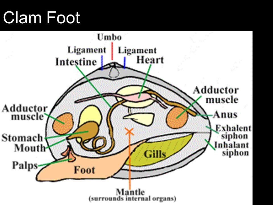 Funky Clam Internal Anatomy Frieze - Anatomy And Physiology Biology ...