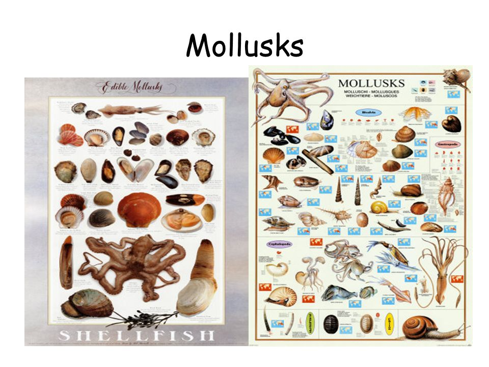 Chapter 29 Mollusks And Annelids Ppt Video Online Download