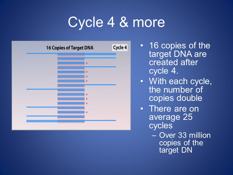 Cycle 4 & more 16 copies of the target DNA are created after cycle 4.