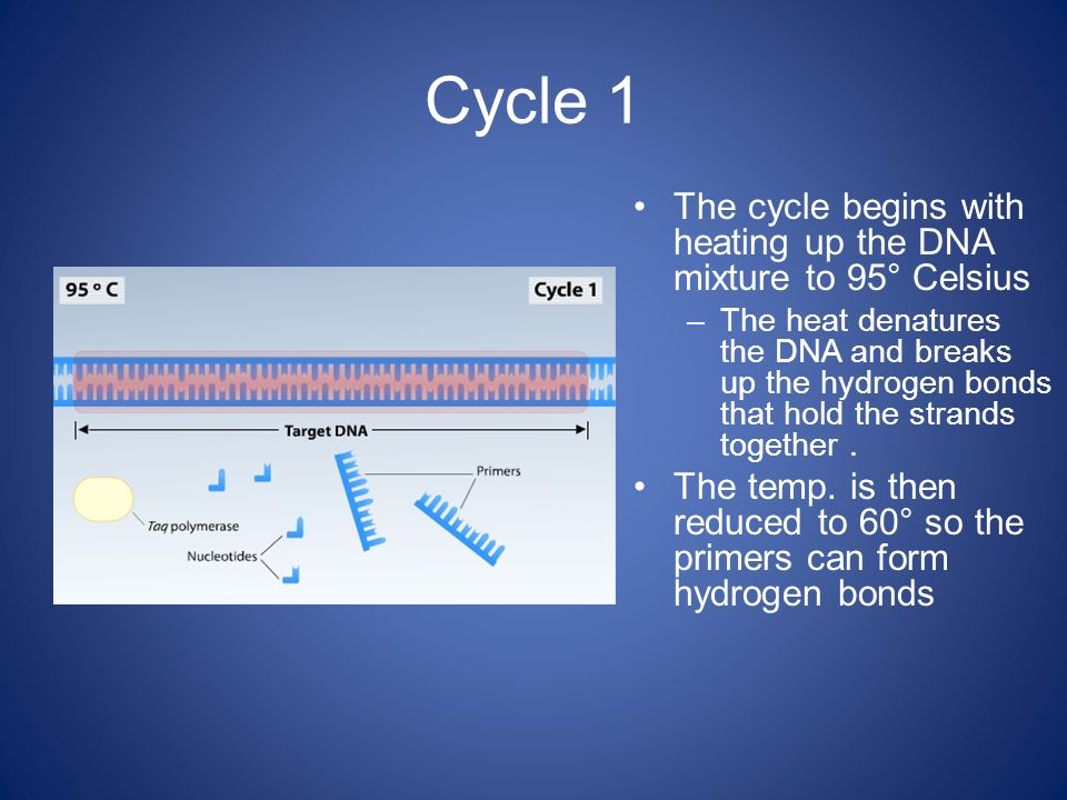 Cycle 1 The cycle begins with heating up the DNA mixture to 95° Celsius.