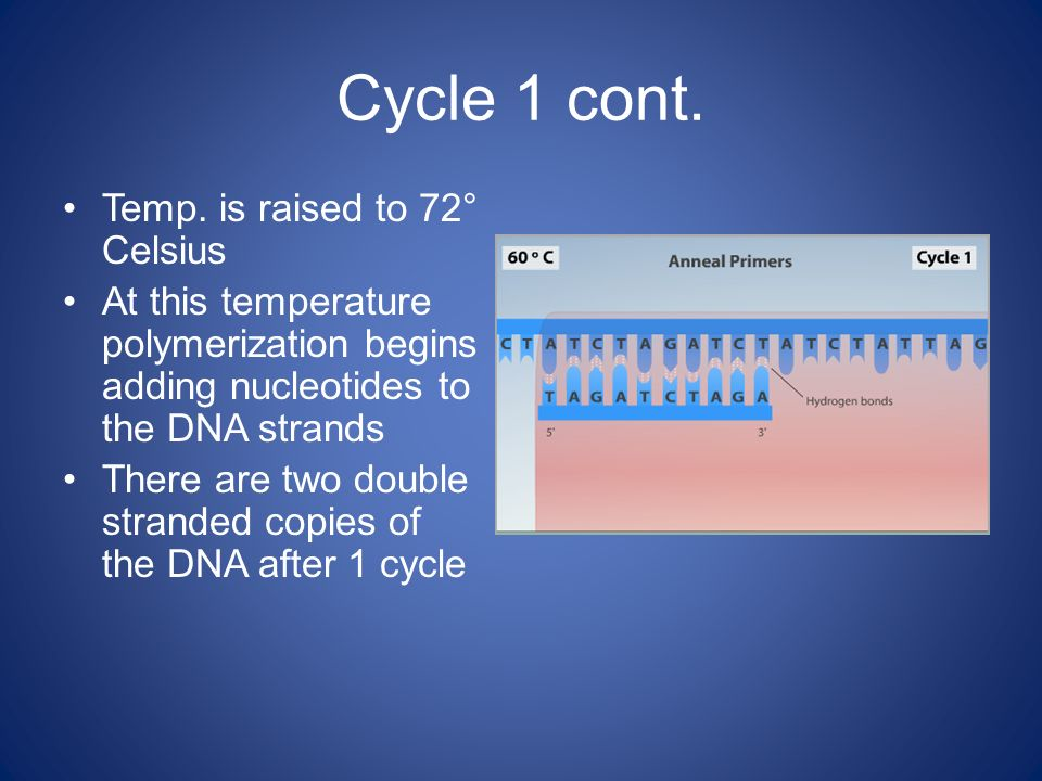 Cycle 1 cont. Temp. is raised to 72° Celsius