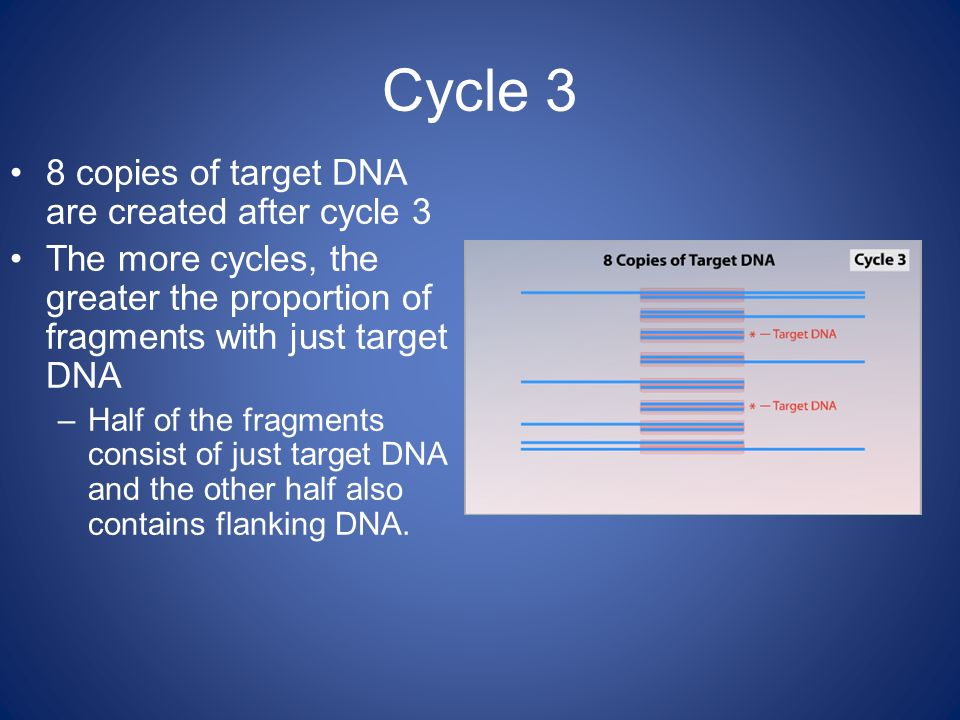 Cycle 3 8 copies of target DNA are created after cycle 3