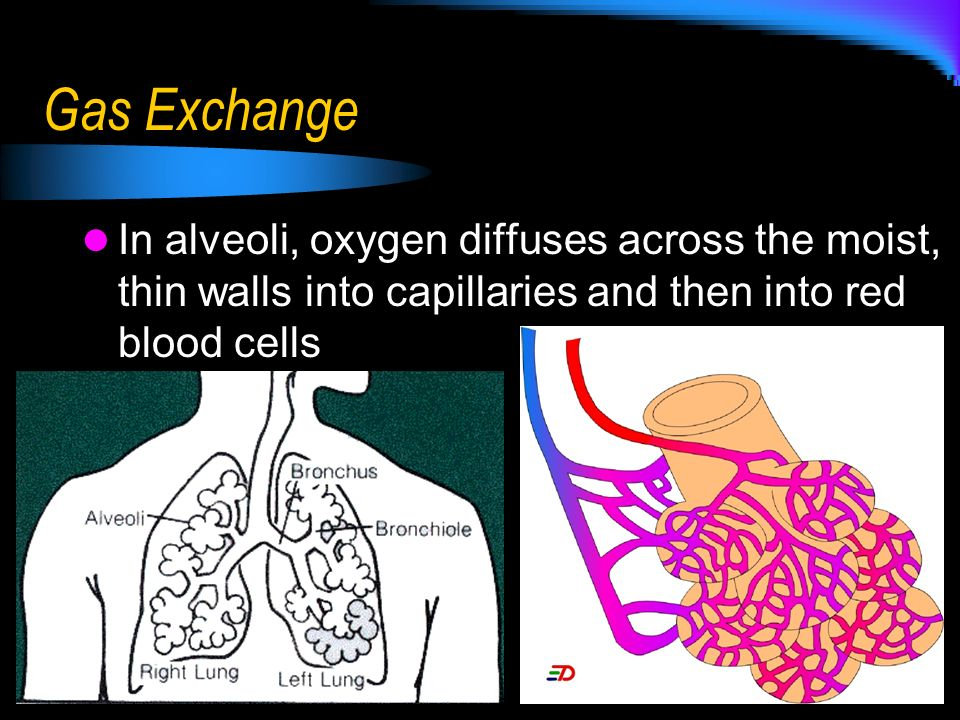 Gas Exchange In alveoli, oxygen diffuses across the moist, thin walls into capillaries and then into red blood cells.