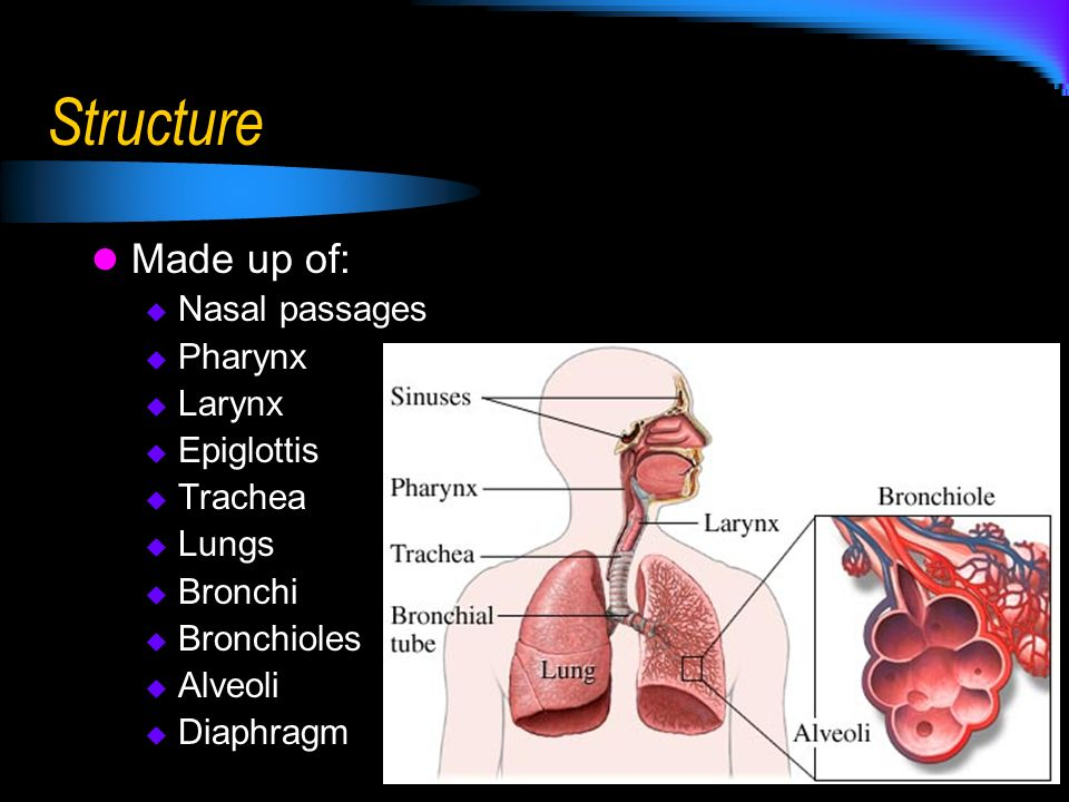 Structure Made up of: Nasal passages Pharynx Larynx Epiglottis Trachea