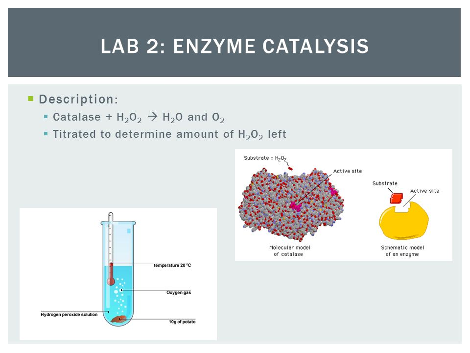 lab enzymes essay What affects enzyme activity lab introduction enzymes are biological catalysts that help to carry out the thousands of chemical reactions that occur in living cells.