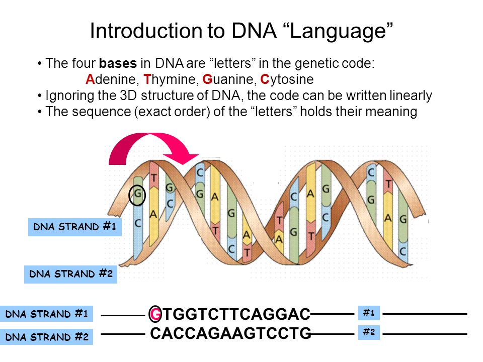 an introduction to deoxyribonucleic acid aka dna Lab 6b - dna fingerprinting introduction: restriction enzymes are endonucleases that actually cut the phosphodiester bonds on the sides of deoxyribonucleic acid these endonucleases recognize specific dna sequences in double-stranded dna.