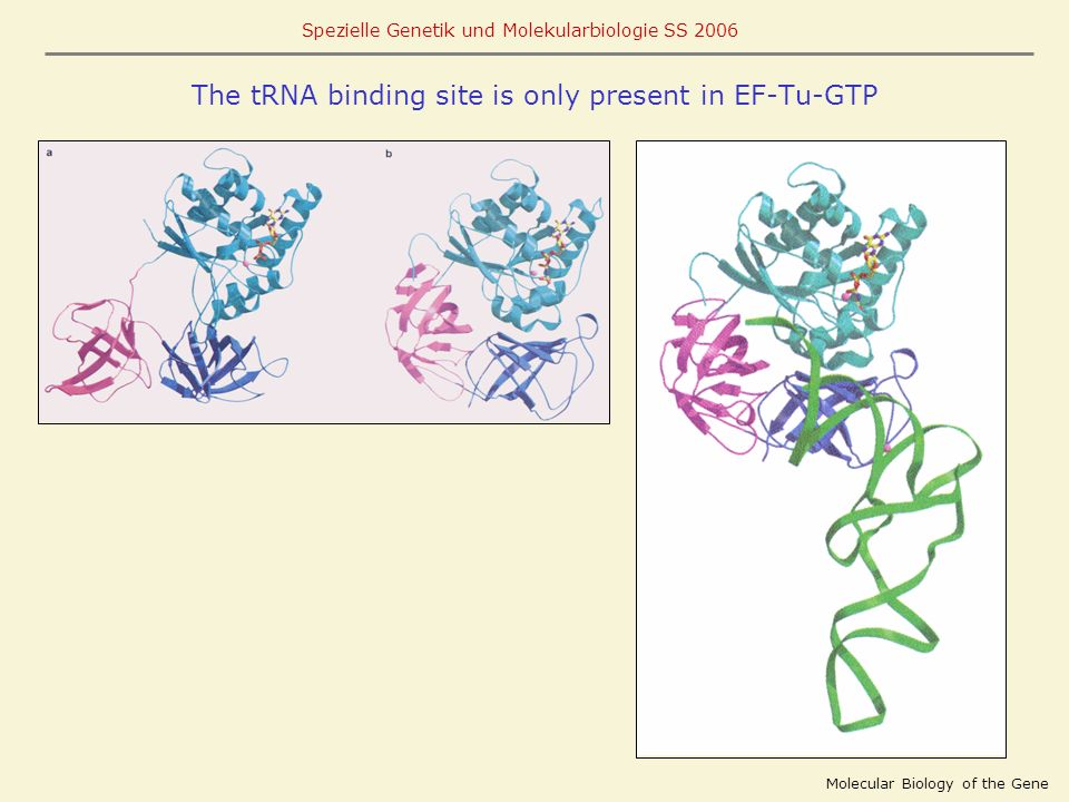 The tRNA binding site is only present in EF-Tu-GTP