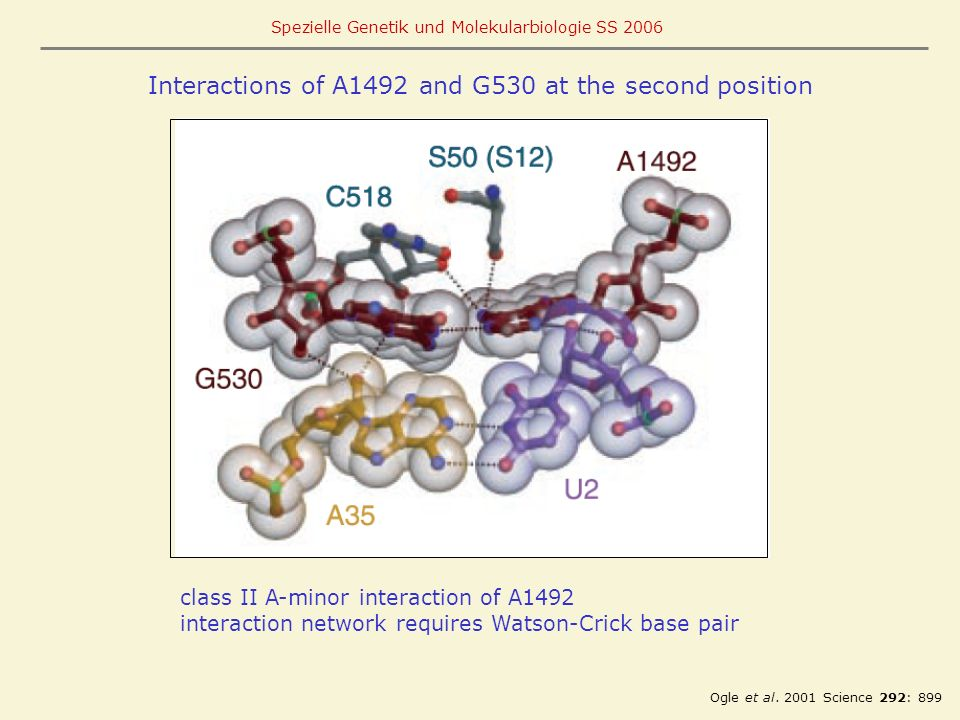 Interactions of A1492 and G530 at the second position