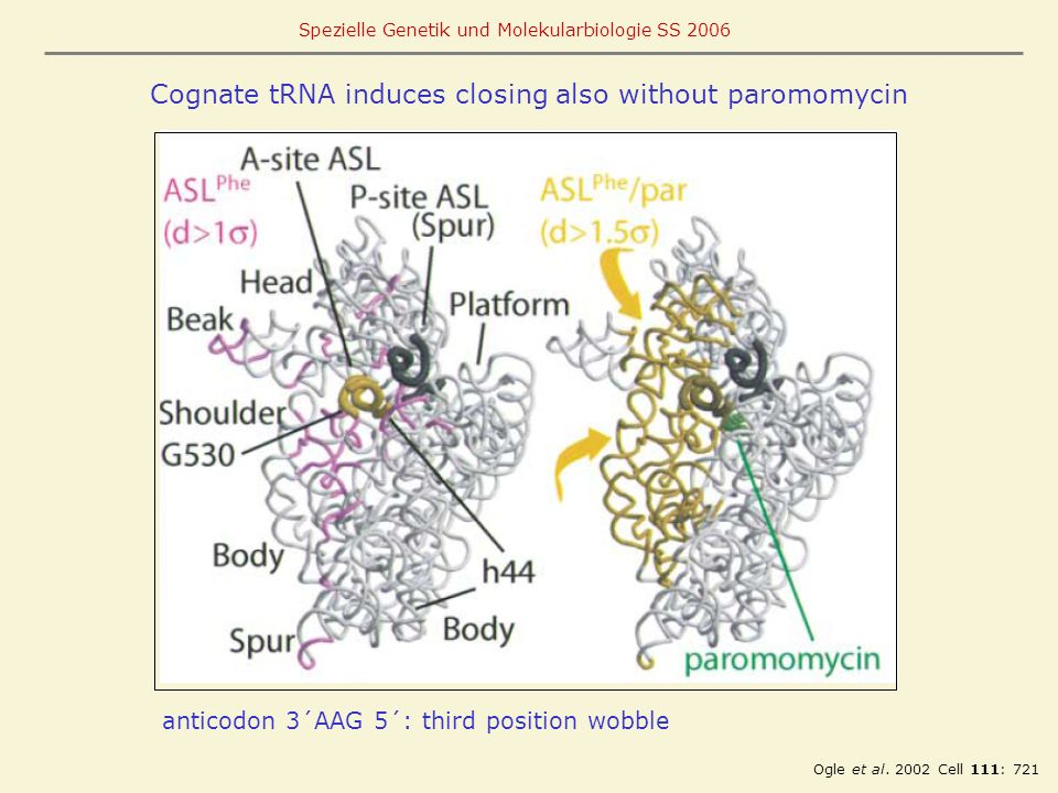 Cognate tRNA induces closing also without paromomycin