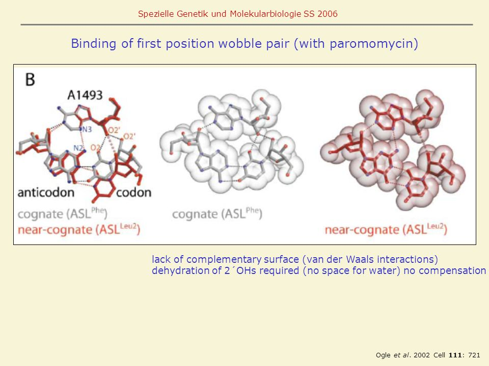 Binding of first position wobble pair (with paromomycin)
