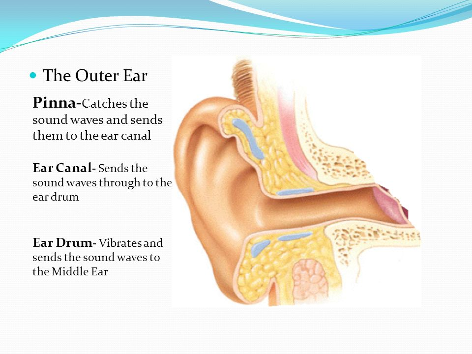 Images Of Outer Ear Anatomy Rock Cafe