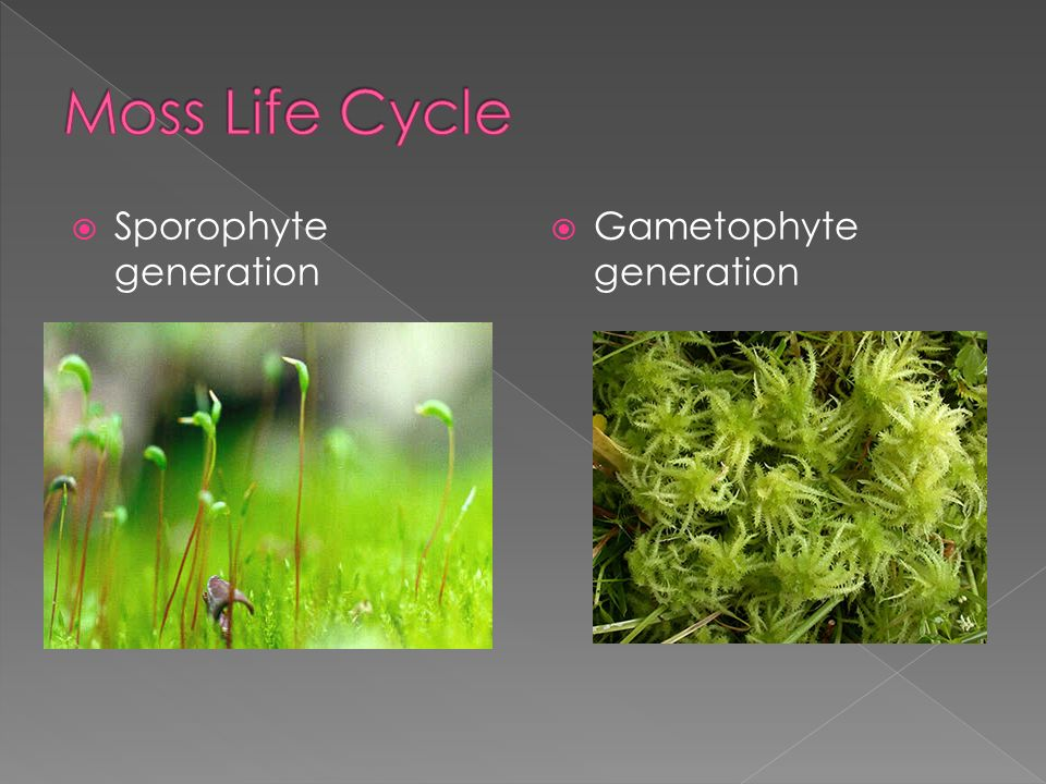 Moss Life Cycle Sporophyte generation Gametophyte generation
