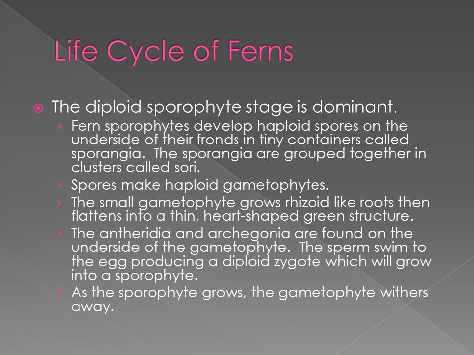 Life Cycle of Ferns The diploid sporophyte stage is dominant.