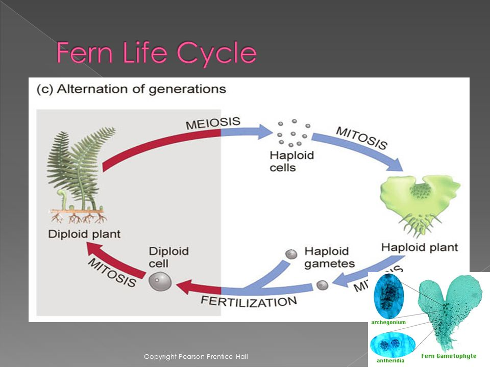 Fern Life Cycle Copyright Pearson Prentice Hall