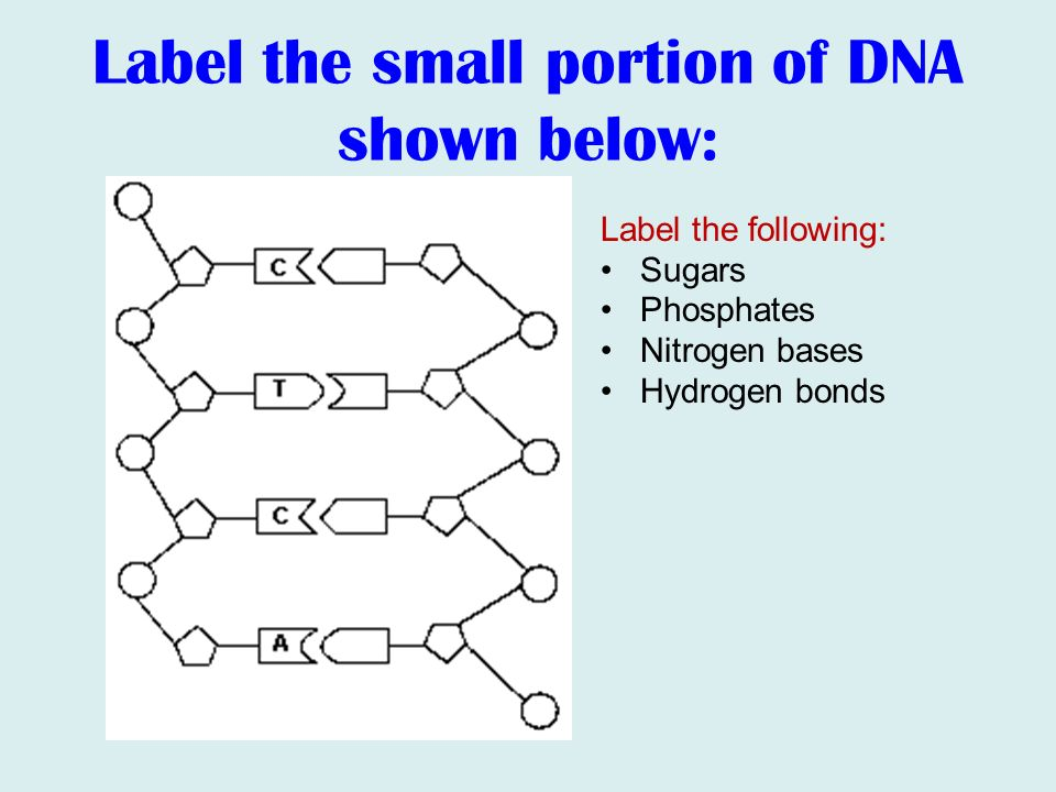Dna rna protein synthesis ppt video online download 8 label the small portion of dna ccuart Images