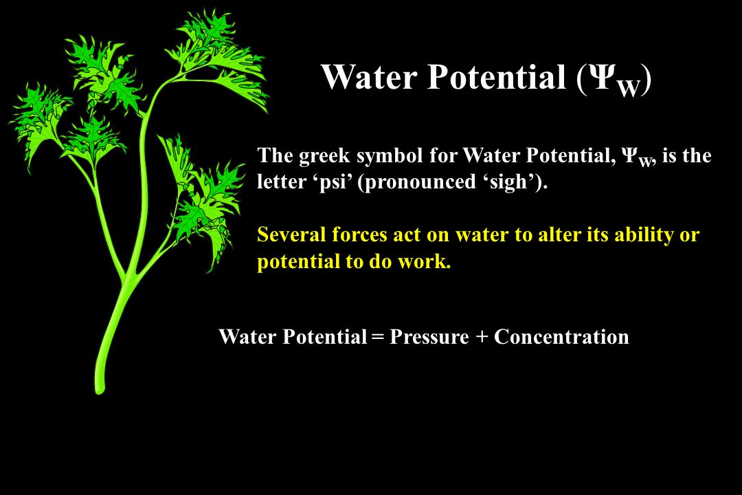 Yw P S Water Potential In Plants Ppt Video Online Download