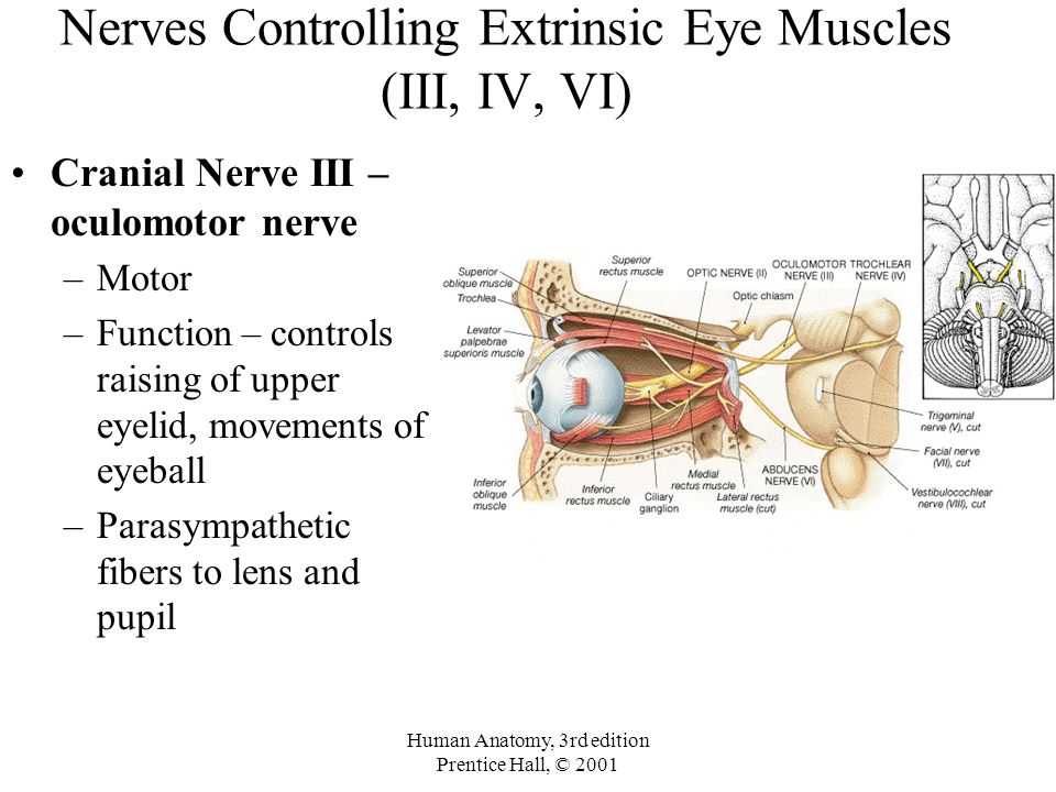 The Brain and Cranial Nerves - ppt video online download